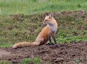 06. Red Fox pausing to look aroundMother Fox