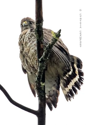 broad-winged_hawk2.c.crawford.jpg