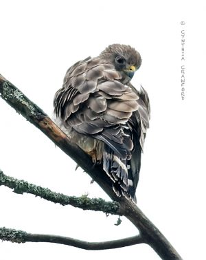 broad-winged_hawk_c.crawford.jpg
