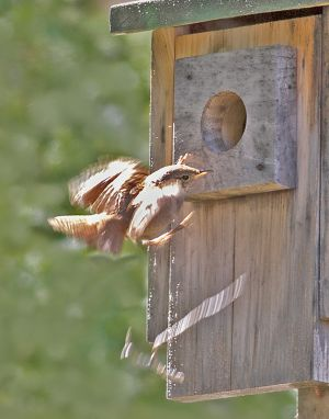 house_wren_drop_stick_c_crawford.jpg