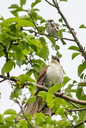 Black-billed Cuckoo and Chestnut-sided Warbler