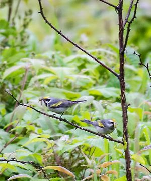 Golden-winged Warbler-pair feeding young
