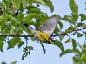 Magnolia Warbler flight