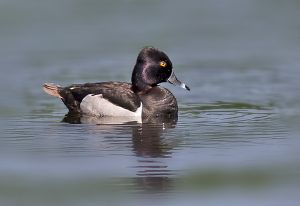 ring-necked.duck2.c.crawford.jpg