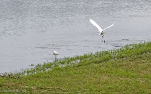01.great.egret.chase_0761.jpg