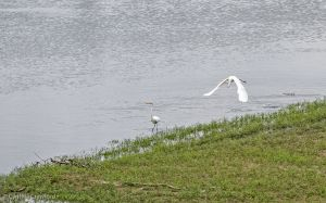 02.great.egret.chase_0762.jpg