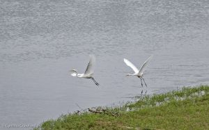 05.great.egret.chase_0765.jpg