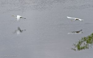 10.great.egret.chase_0770.jpg
