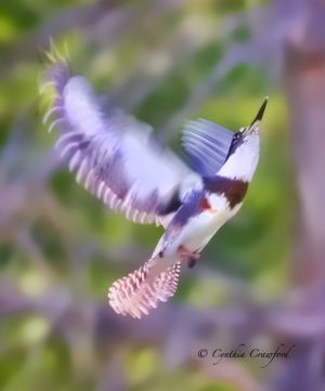 kingfisher_flight.c.crawford.jpg