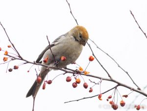 Pine_Grosbeak
