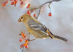 Pine_Grosbeaks
