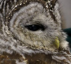 barred.owl.close.jpg