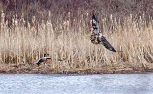 eagle-goose_3235.jpg