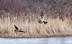 eagle-goose_3237.jpg