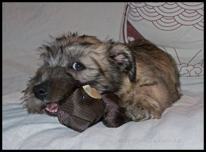 Glen of Imaal Terrier Puppy 12 weeks