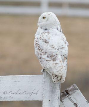 snowy.owl.rear_1710.jpg