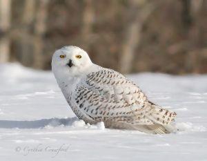 snowy.owl2.c.crawford.jpg