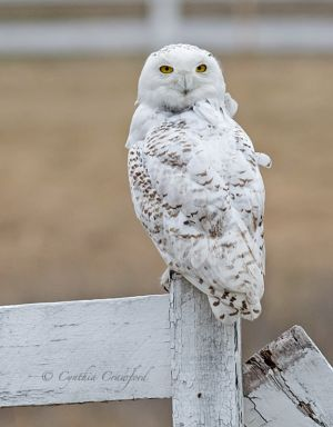 snowy.owl_1725.jpg