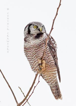no.hawk.owl.lookup.c.crawford.jpg