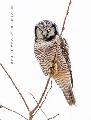 northern.hawk.owl.1.5.2014.c.crawford.jpg