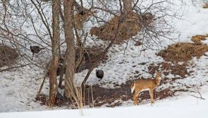 06.turkeys.deer_7855.jpg