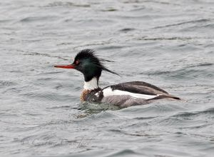 Red-breasted Merganser-male