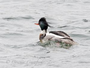 red-breasted.merganser_1696.jpg