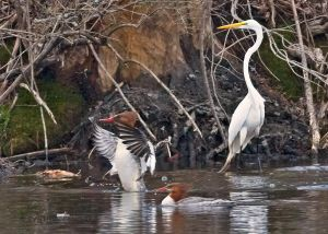 great.egret.mergansers2.jpg