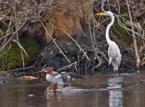 great.egret.mergansers3.c.crawford.jpg