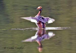 horned.grebe.c.crawford_2818.jpg