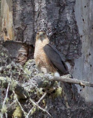 sharp-shinned.hawk_3685.jpg
