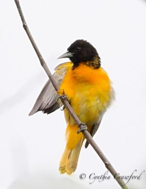 baltimore.oriole.f.dark_8619.jpg