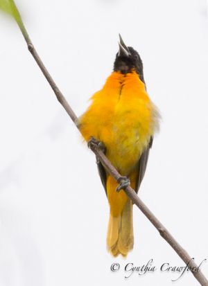 baltimore.oriole.f.dark_8624.jpg