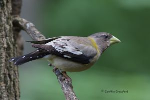 evening.grosbeak.dark.jpg