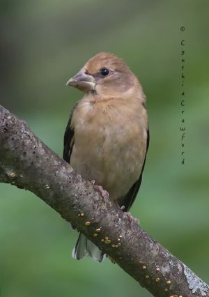 evening.grosbeak.female.jpg