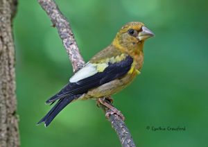 evening.grosbeak.immature.6.jpg