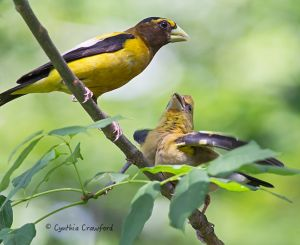 evening.grosbeaks.jpg