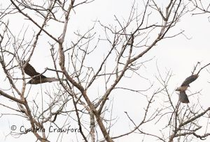peregrine.falcon.mourning.dove_2609.jpg