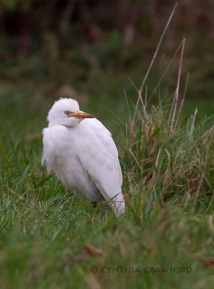 cattle.egret.head.turn_7561.jpg