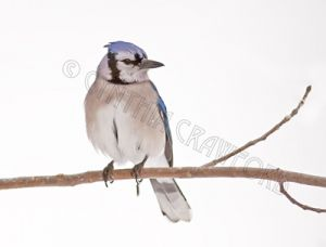 blue.jay.snow1.c.crawford.jpg