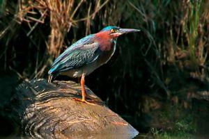 green.heron.on.rock.c.crawford.jpg