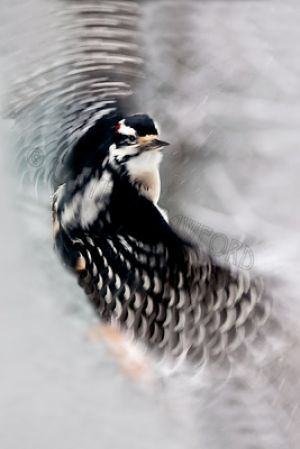 hairy.woodpecker.flight.c.crawford.jpg