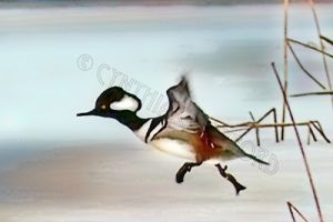 hooded.merganser.take-off.c.crawford.jpg