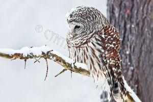 owl.in.snowstorm.c.crawford.jpg