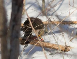 hawk.prey_9825.jpg