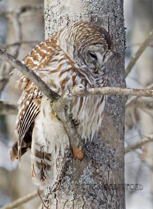 barred.owl_0896