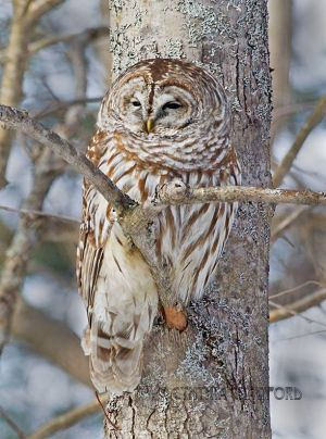 barred.owl_0898