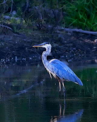 Great Blue Heron in the Moonlight