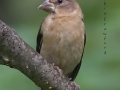 evening.grosbeak.female