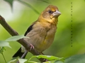 evening.grosbeak.immature.fed